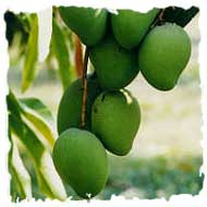 Mangoes growing on the tree